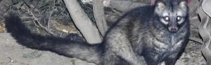 Common Palm Civet