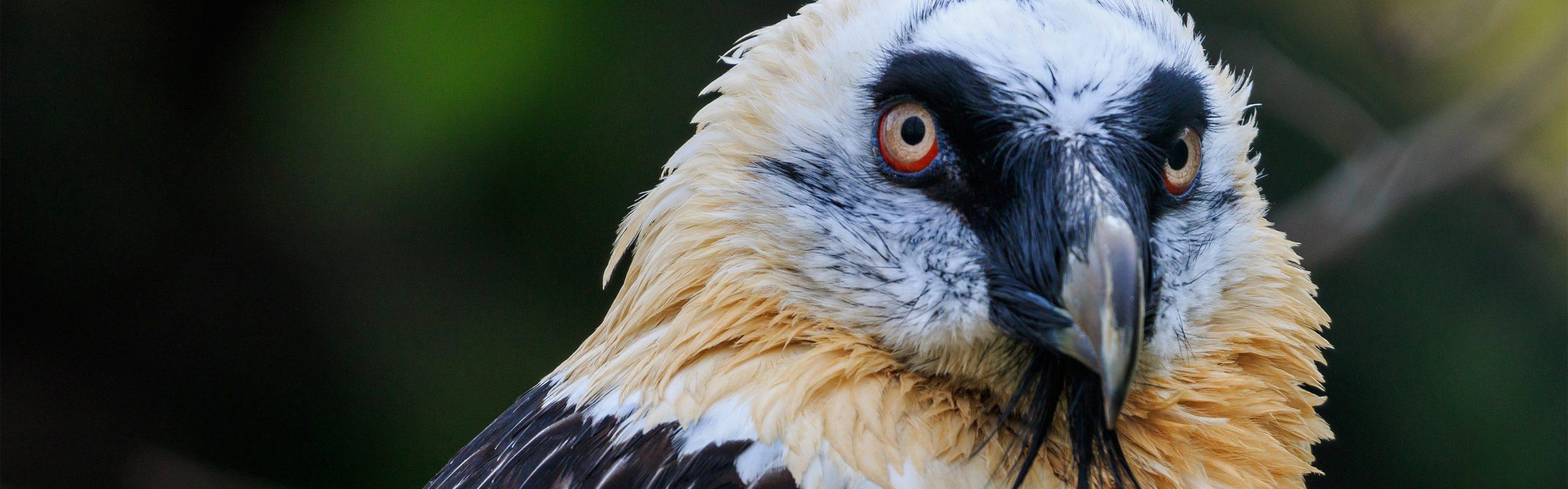 https://faunafocus.com/home/may-2018-bearded-vulture/#jp-carousel-7880