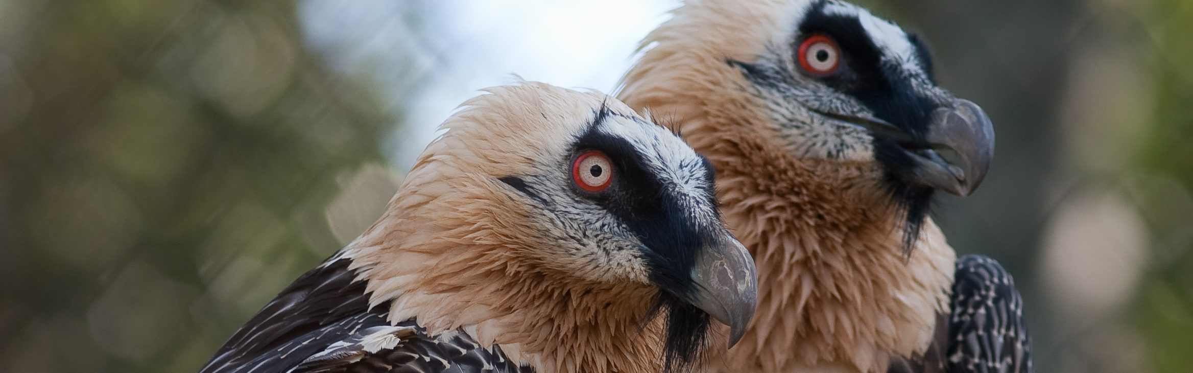 https://faunafocus.com/home/may-2018-bearded-vulture/#jp-carousel-7877