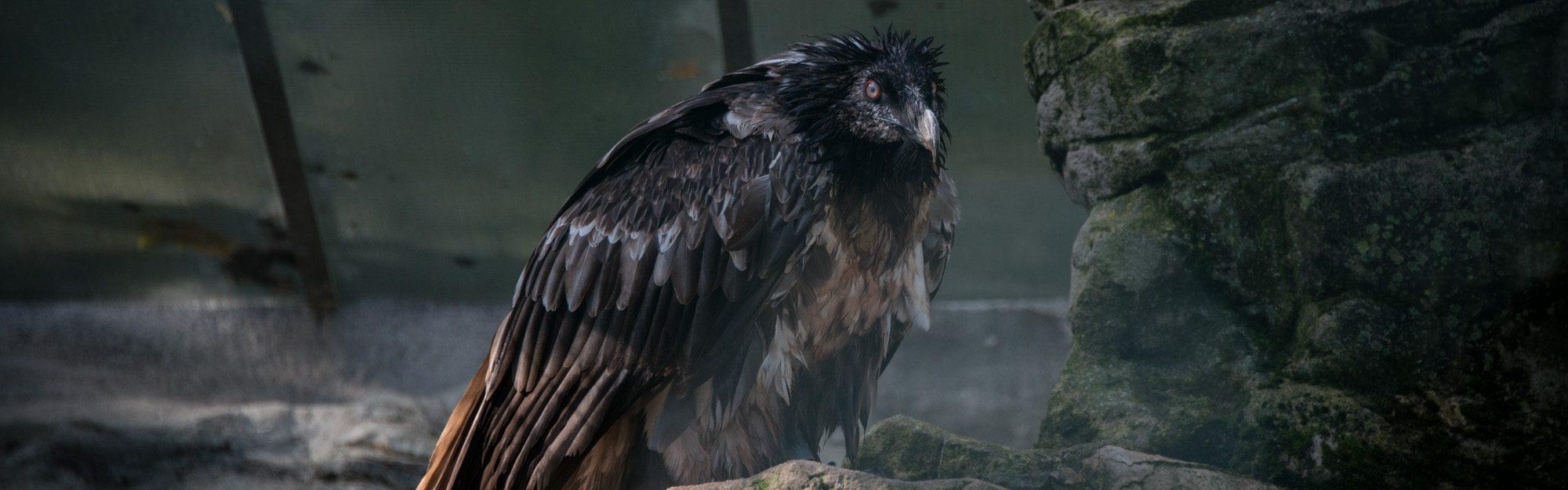 https://faunafocus.com/home/may-2018-bearded-vulture/#jp-carousel-7884
