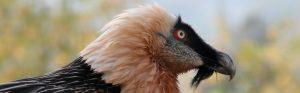 https://faunafocus.com/home/may-2018-bearded-vulture/#jp-carousel-7895