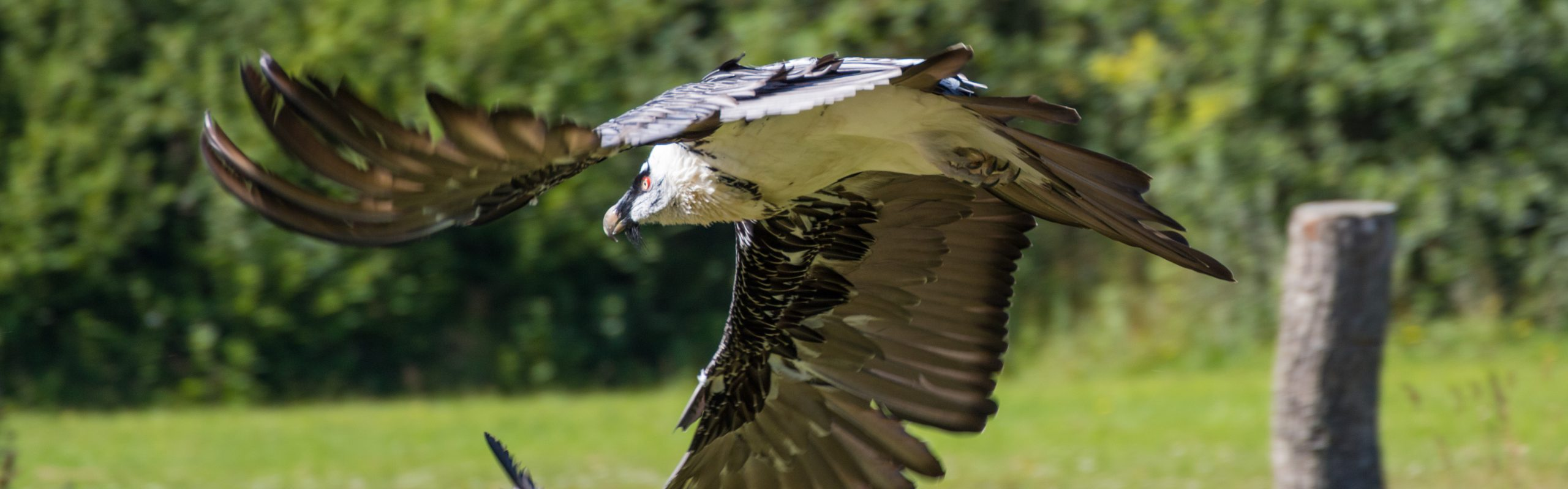 https://faunafocus.com/home/may-2018-bearded-vulture/#jp-carousel-7897