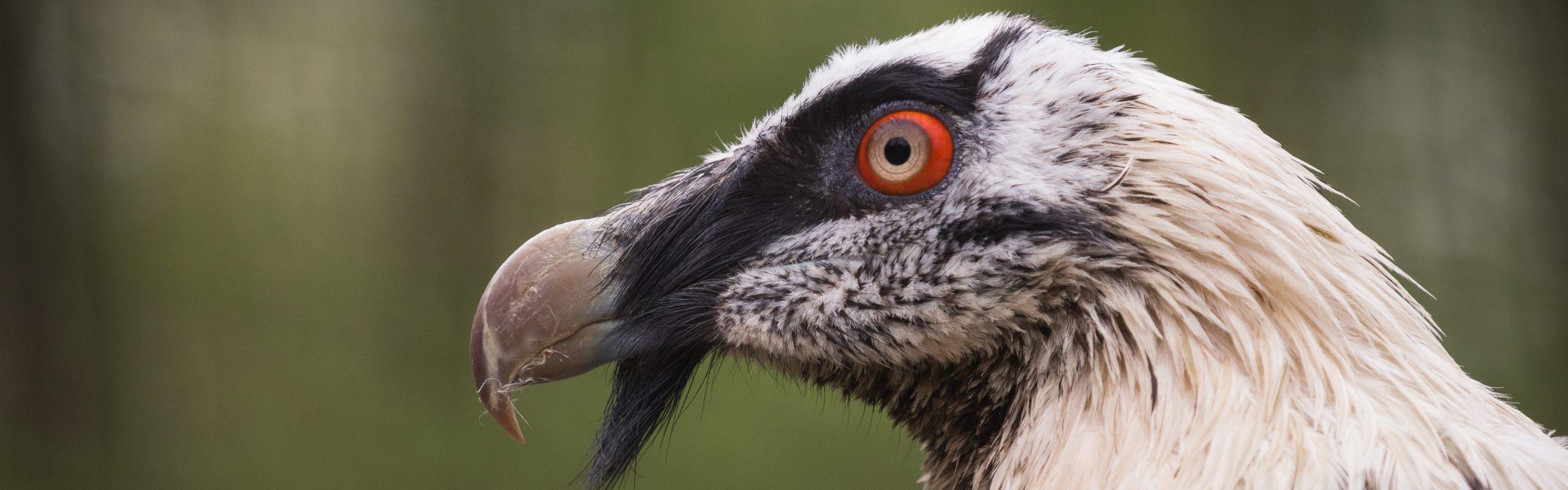 https://faunafocus.com/home/may-2018-bearded-vulture/#jp-carousel-7908