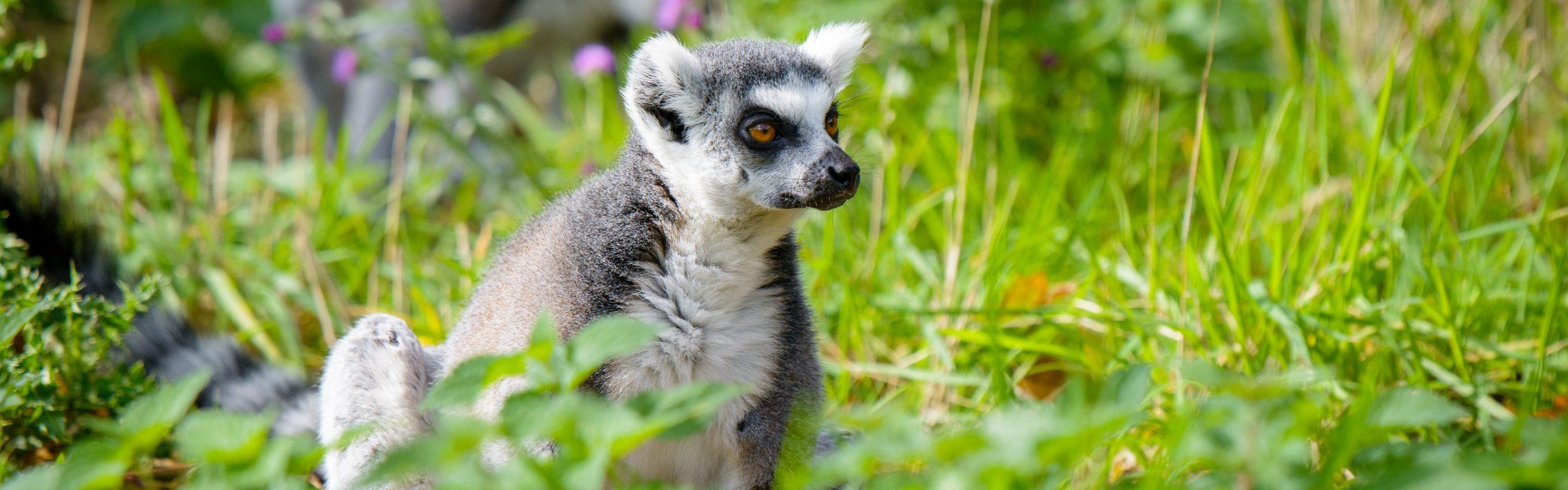 https://faunafocus.com/home/november-2018-ring-tailed-lemur/#jp-carousel-11922