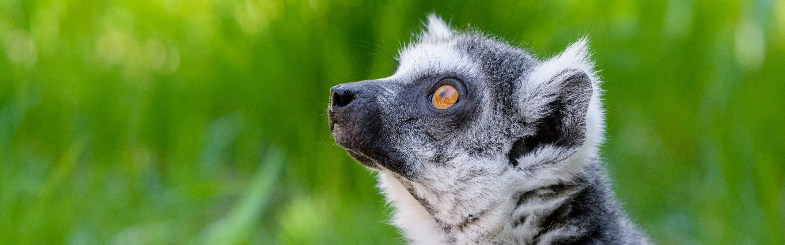 https://faunafocus.com/home/november-2018-ring-tailed-lemur/#jp-carousel-11923