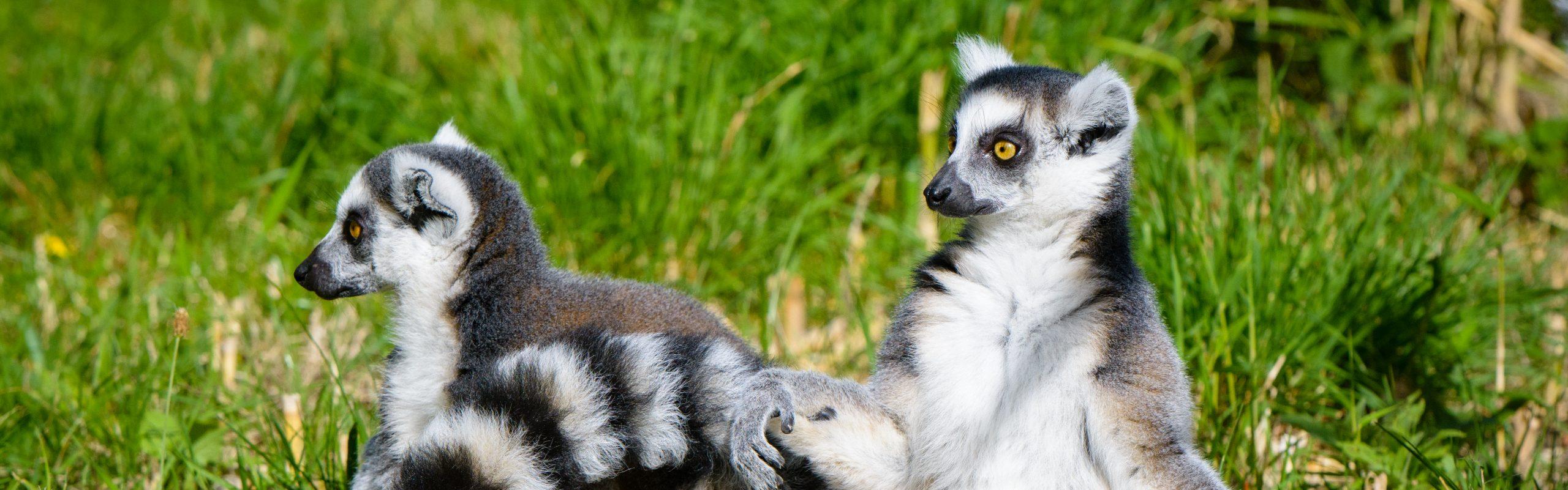 https://faunafocus.com/home/november-2018-ring-tailed-lemur/#jp-carousel-11926