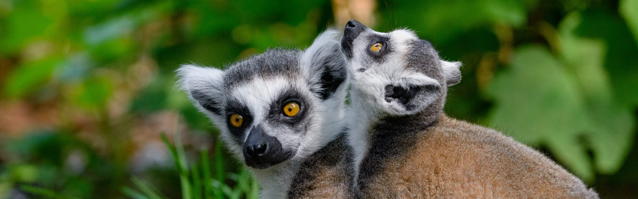 https://faunafocus.com/home/november-2018-ring-tailed-lemur/#jp-carousel-11928