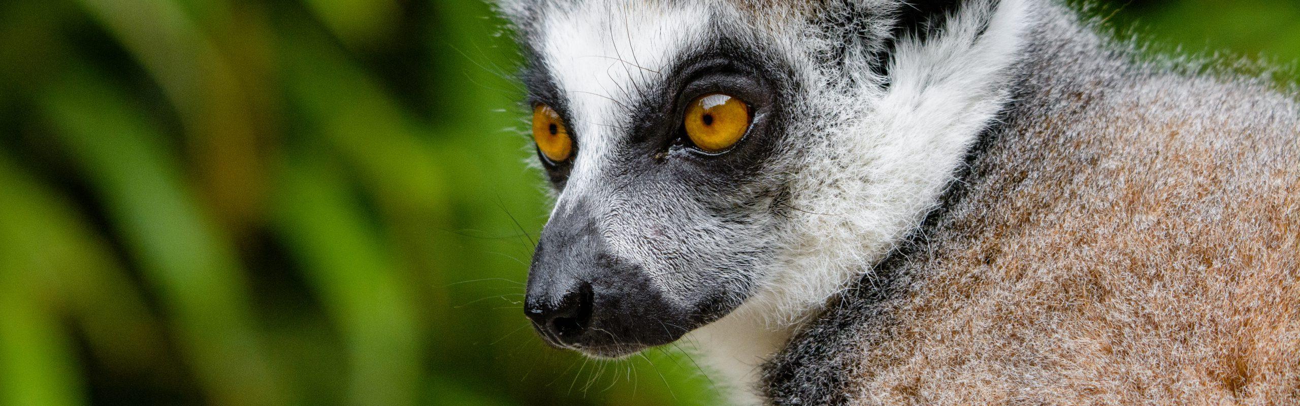 https://faunafocus.com/home/november-2018-ring-tailed-lemur/#jp-carousel-11929