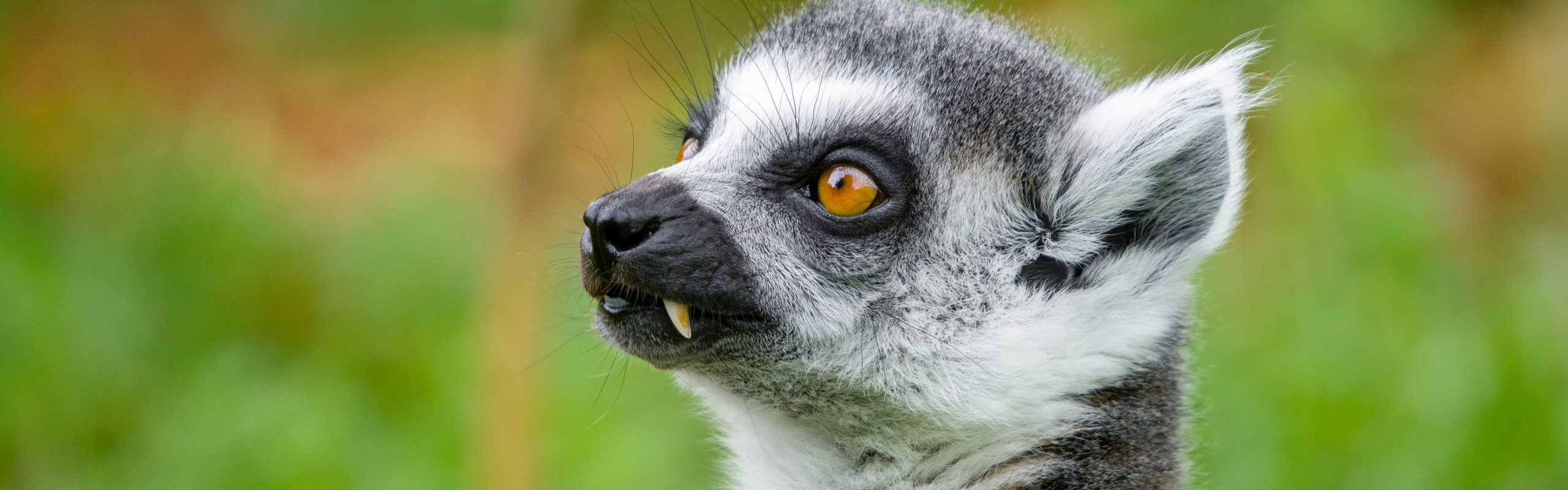 https://faunafocus.com/home/november-2018-ring-tailed-lemur/#jp-carousel-11930