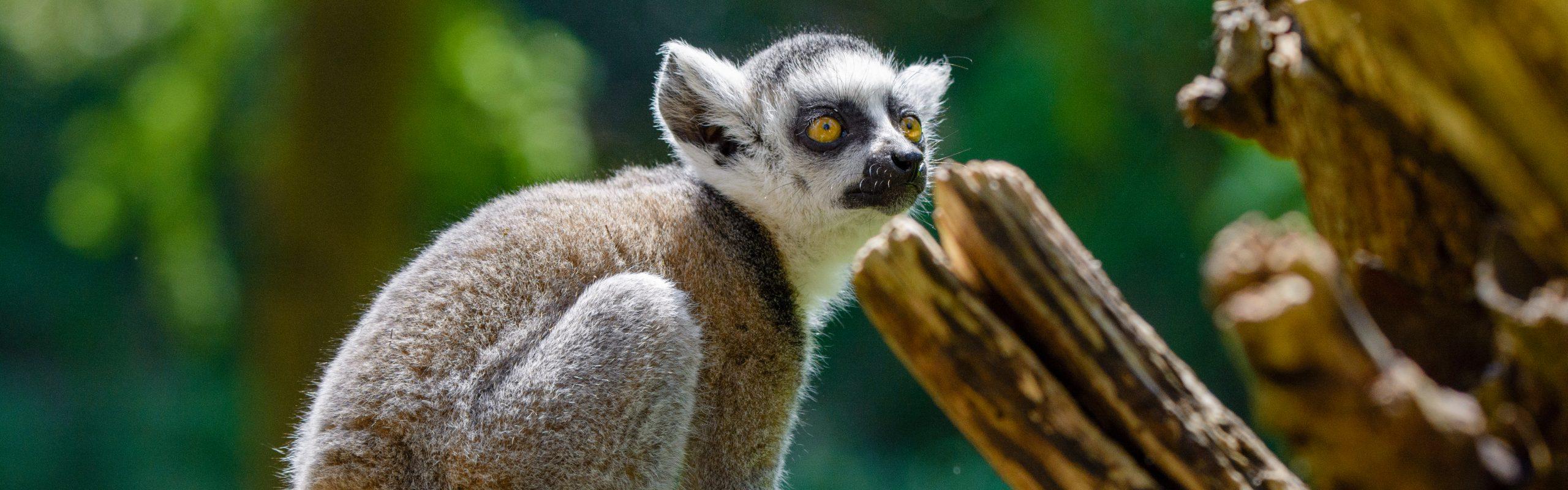 https://faunafocus.com/home/november-2018-ring-tailed-lemur/#jp-carousel-11931