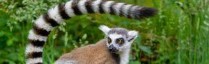 https://faunafocus.com/home/november-2018-ring-tailed-lemur/#jp-carousel-11934