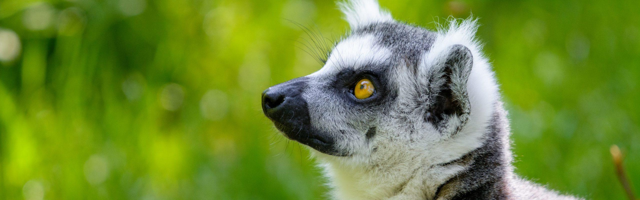 https://faunafocus.com/home/november-2018-ring-tailed-lemur/#jp-carousel-11935