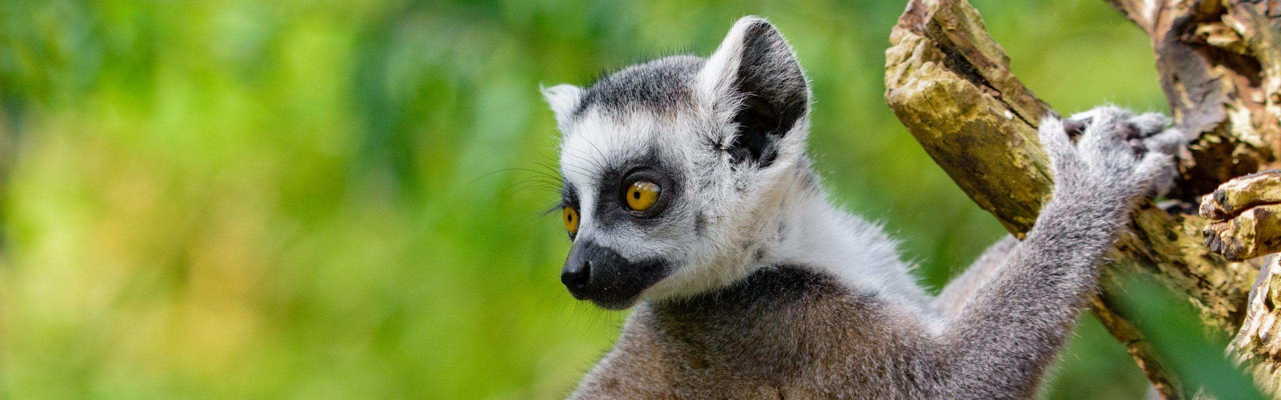 https://faunafocus.com/home/november-2018-ring-tailed-lemur/#jp-carousel-11936