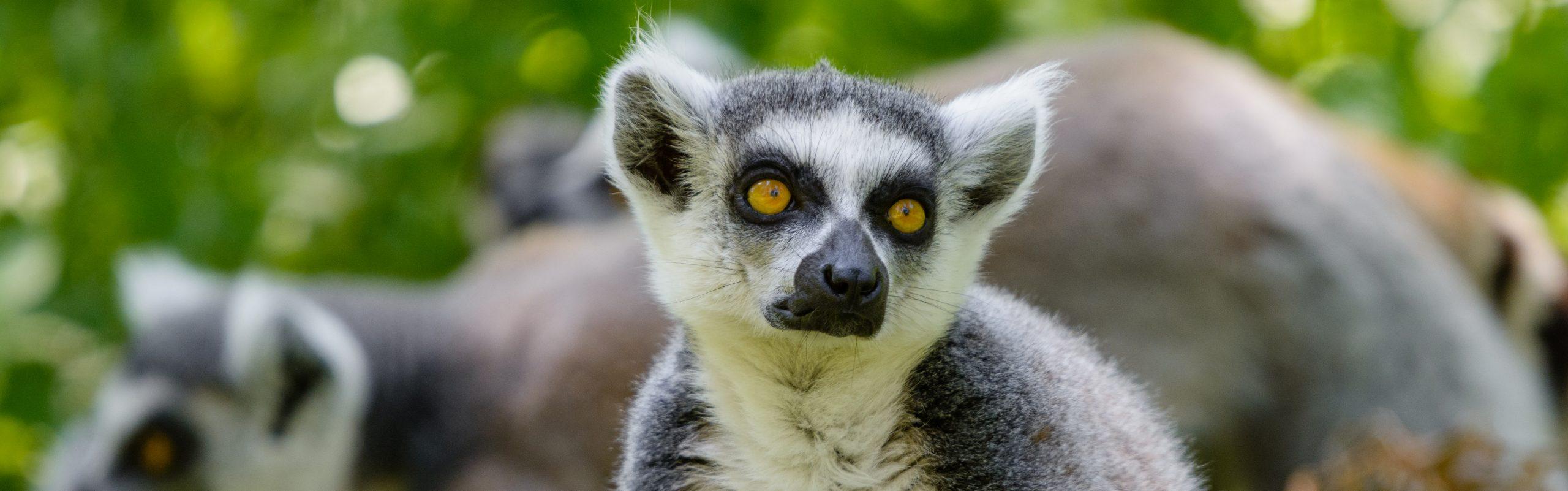 https://faunafocus.com/home/november-2018-ring-tailed-lemur/#jp-carousel-11938