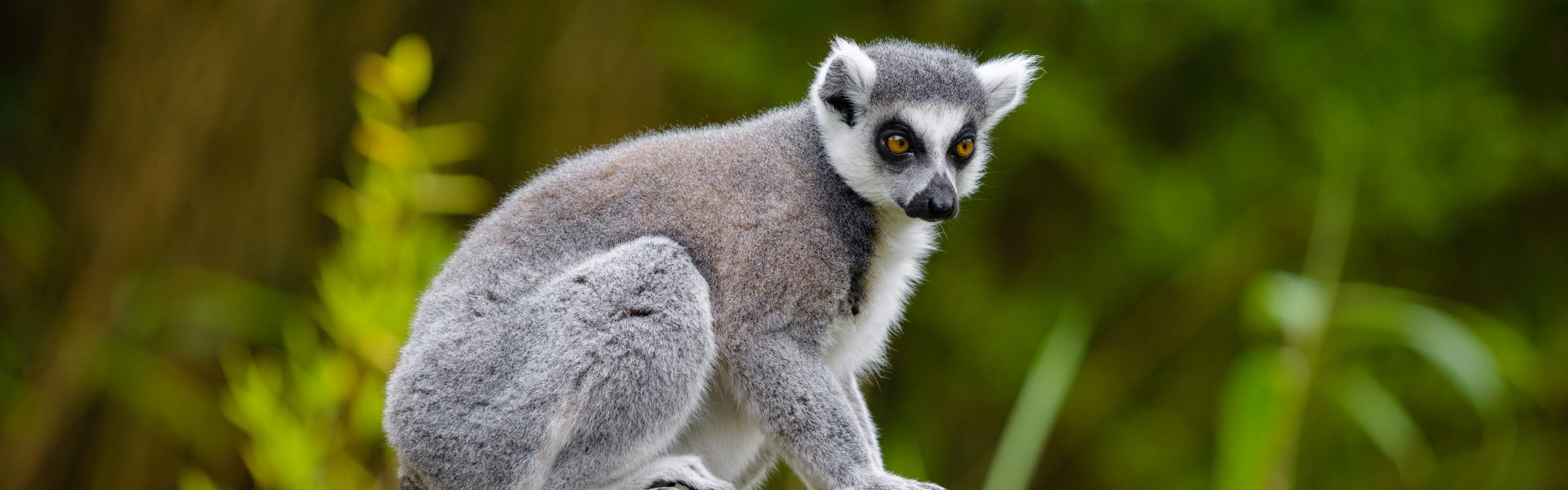 https://faunafocus.com/home/november-2018-ring-tailed-lemur/#jp-carousel-11946