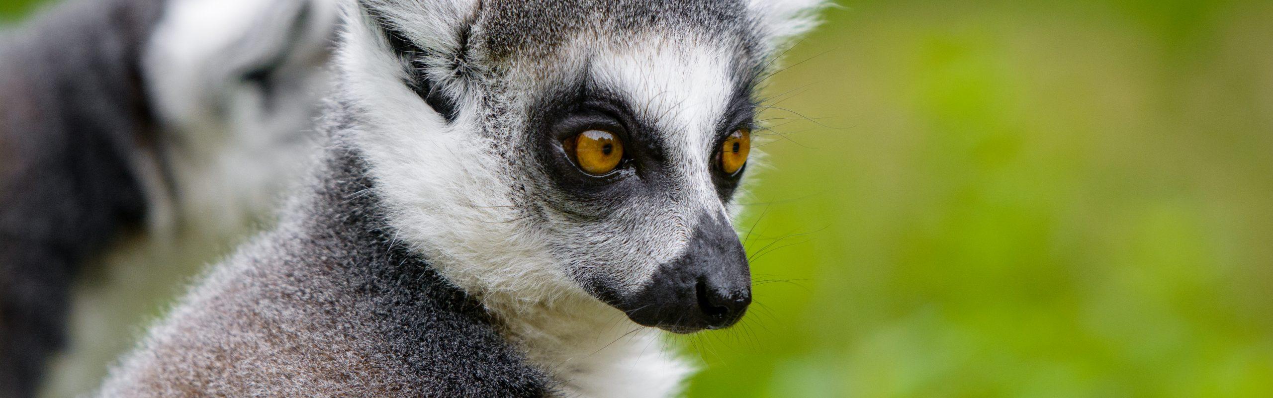 https://faunafocus.com/home/november-2018-ring-tailed-lemur/#jp-carousel-11952