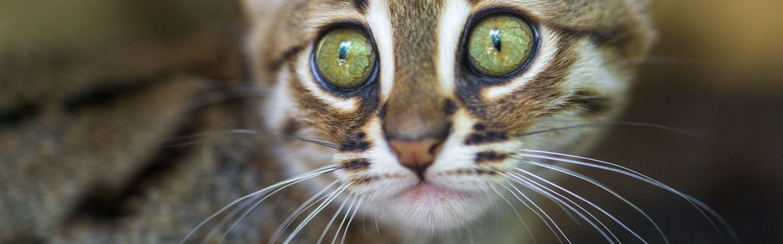 Rusty-Spotted Cat