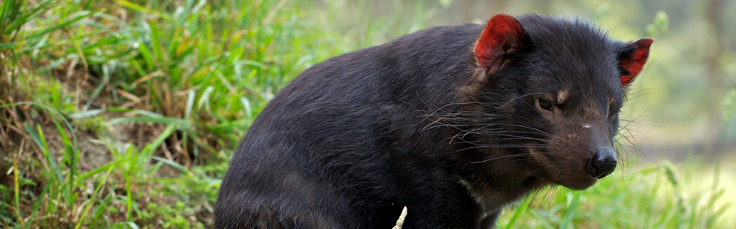 https://faunafocus.com/home/january-2019-tasmanian-devil/#jp-carousel-12985