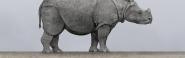 Javan Rhinoceros