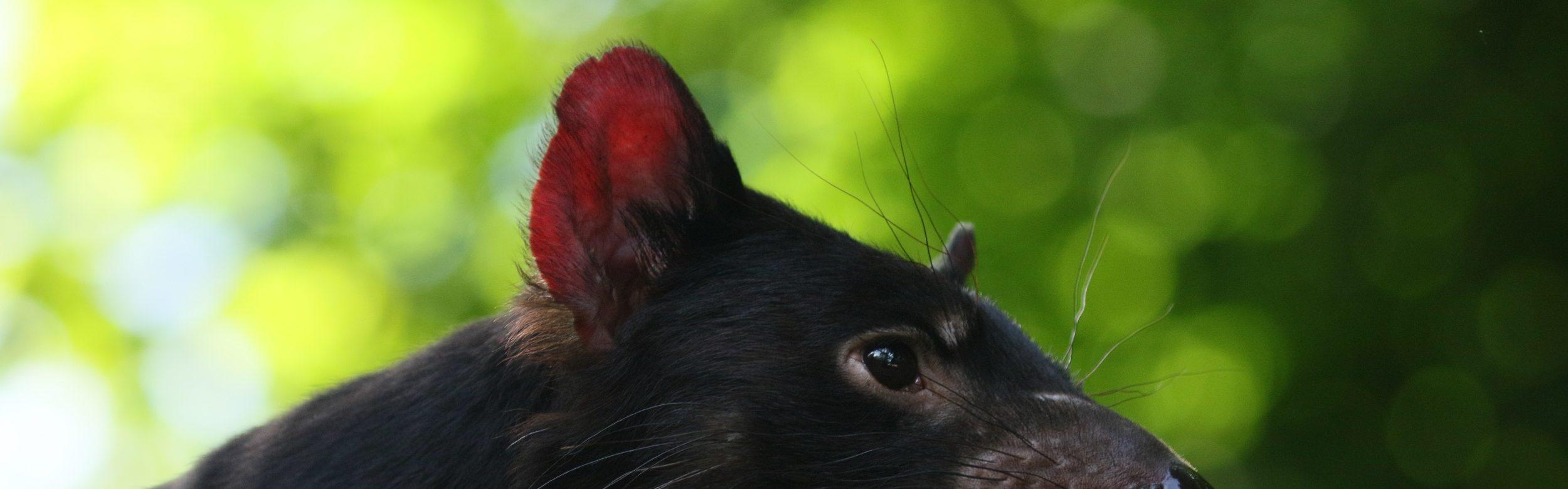 Tasmanain Devil