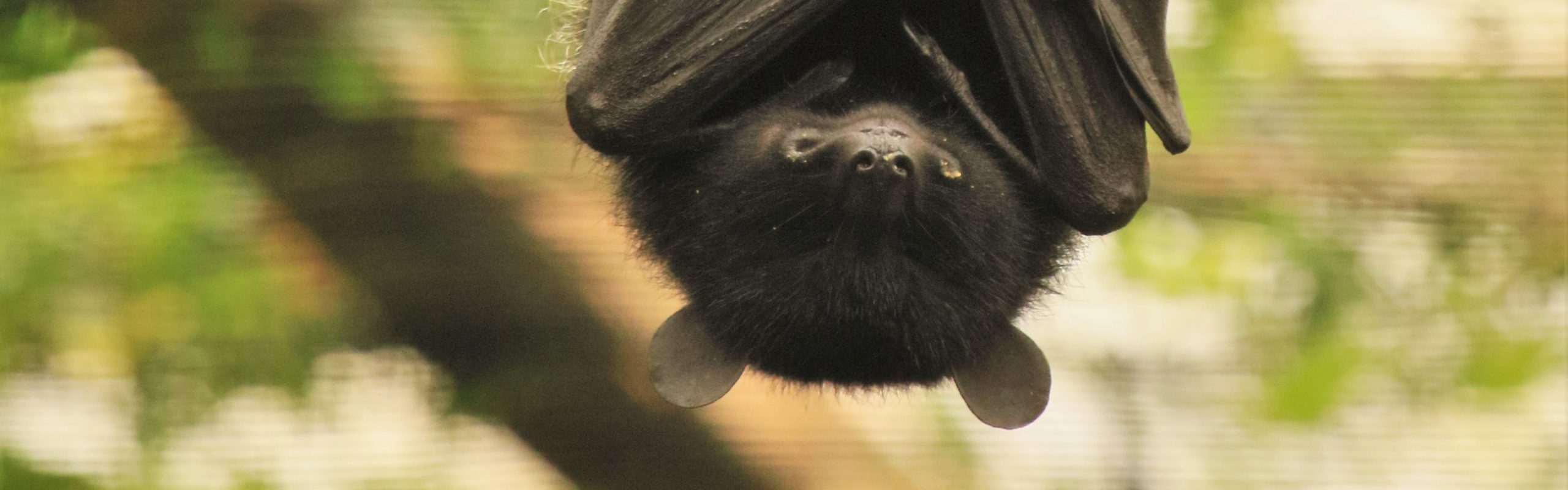 Livingstone's Flying Fox