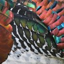 Ocellated Turkey