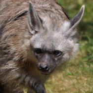Aardwolf
