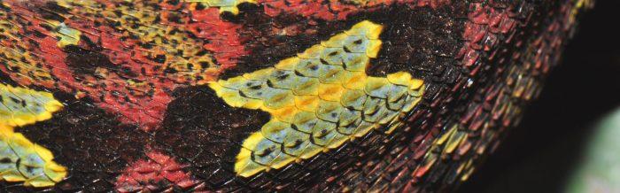 Butterfly Viper