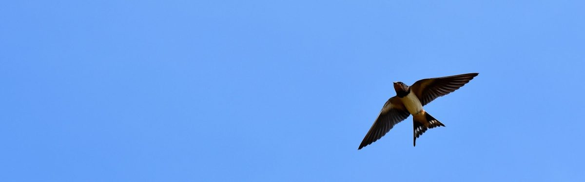 Barn Swallow | FaunaFocus