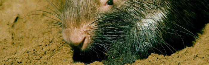 Crested Porcupine