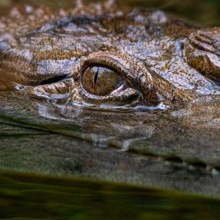 Slender-Snouted Crocodile