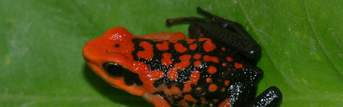 Silverstone's Poison Frog