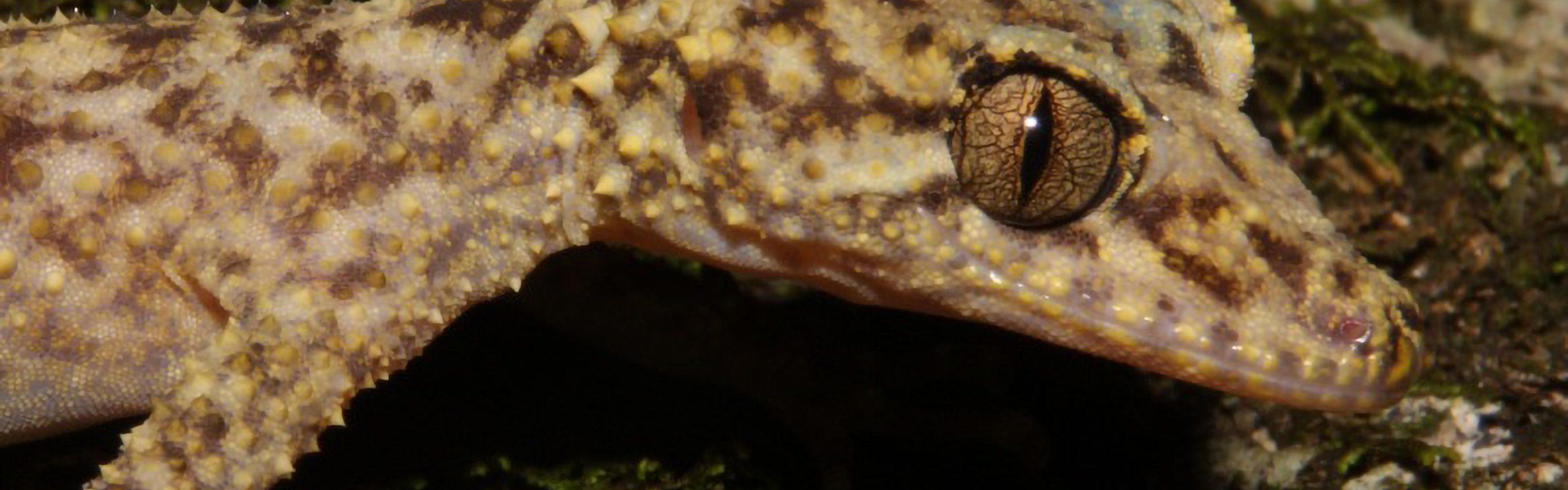 Gulbaru Leaf-Tailed Gecko
