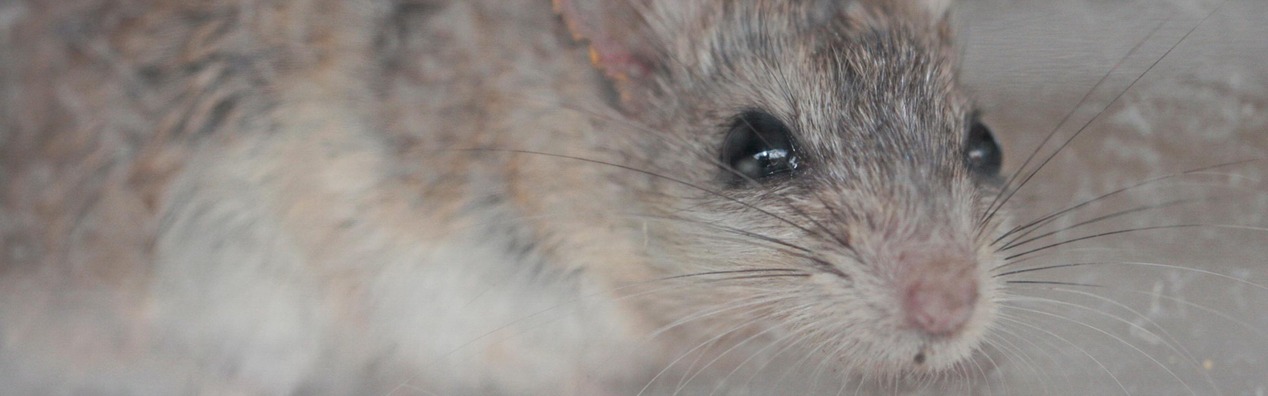 Southern Grasshopper Mouse