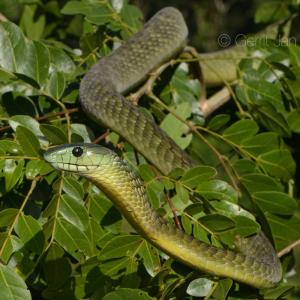 Co-Habitant